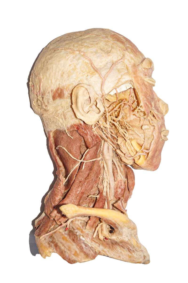 Deep-dissection-of-head-and-neck-1