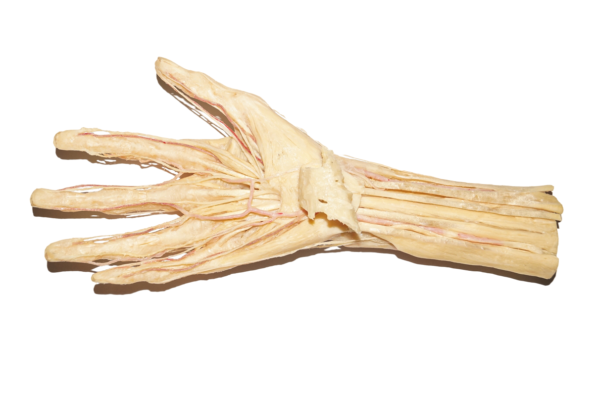 plastinated dissection of hand